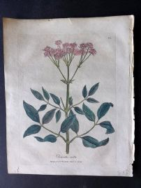 Woodville Medical Botany 1790's Hand Col Print. Clematis Recta